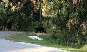 Cubs Follow Closely as Momma Bear Crosses Road