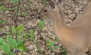 Human Hand-Feeds Trusting Deer