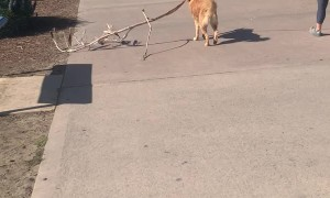 Doggo Drags a Large Stick at the Beach