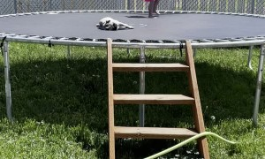 Sleepy Pug Can't be Bothered by Trampolining Girl
