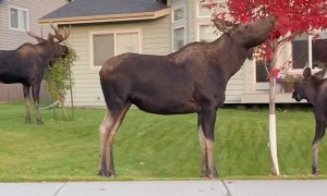 Roaming Moose Make a Meal Out of Residential Trees