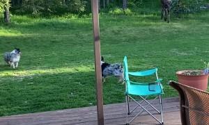 Moose Wanders Into Backyard Looking for Water