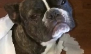 French Bulldog Gets Totally Sold Out By His Best Friend