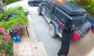 Black Bear Tries to Break into Truck