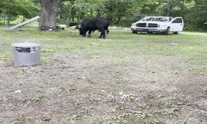 Angry Bull Runs Rampant in Front Yard