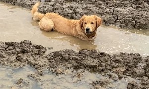 Jimmy the Golden Demonstrates His Love For Mud Puddles