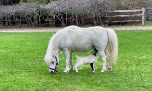 Rejected Lamb Adopted by Loving Mare