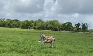 Excited Zebra Jacks Feed Bucket