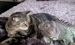 Lizard Caught Playing with Kitty Buddy