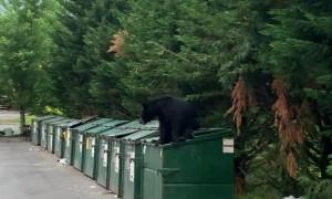 Bear Caught Climbing Out of Dumpster