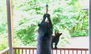 Bears Help Themselves to Bird Feeder