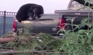 Black Bear Raids Truck Bed for Peanuts