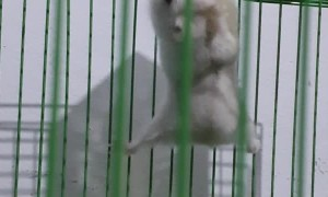 Acrobatic Hamster Trains in Cage