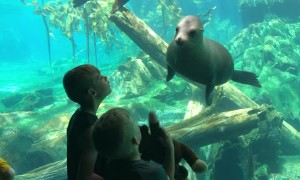 Sea Lion Curious About Kid's Toy
