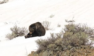 Bear and Cubs Playing Together in the Snow