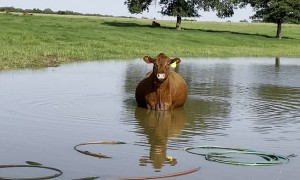 Pregnant Cow Cools off in the Pond