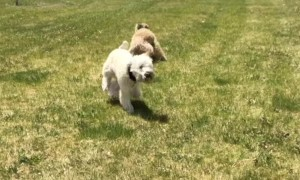 Sprinting Doggy Bounces Off Surprise Fence