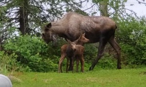 Momma Moose and Twin Calves Come to Visit