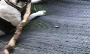 Dog Lives His Best Life on Hammock