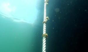 Black Sea Seahorses Wrap Around Rope