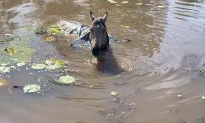 World's Largest Seahorse Eating Lily Pads