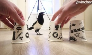 Shell Game is No Match for Clever Magpie