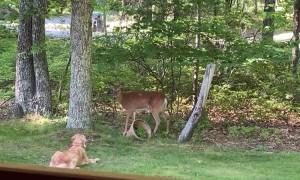 Deer and Golden Retriever Develop a Friendship
