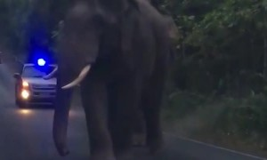 Elephants Teasing Each Other While Walking Down Road