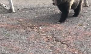 Bear Uses Yellowstone Boardwalk to Cross