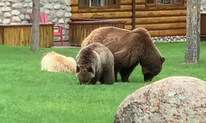 Grizzly Family Grazes on Grass
