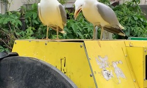 Seagulls Sound Funny Laughing