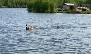 Momma Moose Swims Across Lake With Calf