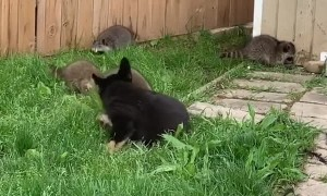 Family of Raccoons Befriend Lonely Puppy