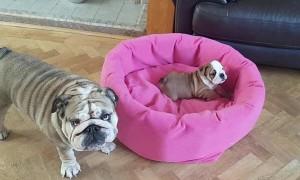Bulldog Mom Preciously Entertains Tiny Puppy