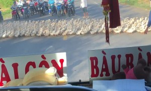 Traffic Stopped by Gigantic Paddle of Ducks