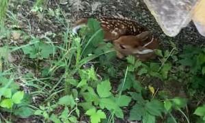 Pre Start Walk Around Uncovers Sleeping Deer Fawn