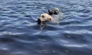 Wally Retrieves Unlikely Water Pal