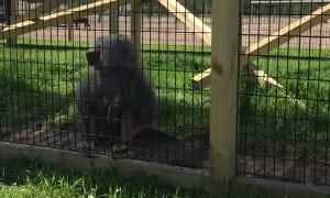 Monkey Throws Dirt at Zoo Visitors