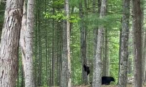 Baby Bears Galore