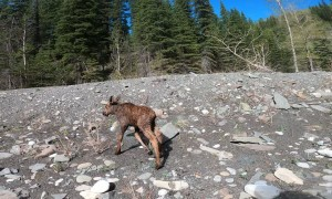 Kayakers Rescue Distressed Moose Calf From Glacial River