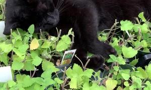 Black Cat Basking in Greenhouse Catnip