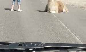 Llama Doesn't Want to Move off the Road