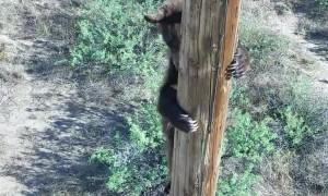 Rescuing a Bear Stuck on a Power Pole