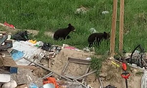 Groups of Bears Gather at Trash Dump