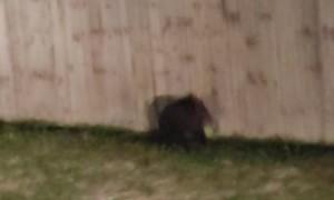 Three Tiny Cubs Trying to Climb Fence Back to Mama