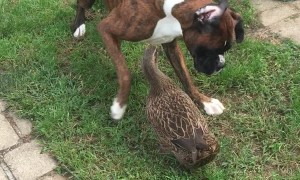 Dog and Duck Play Together Delightfully