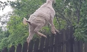 Goat Stands on Fence for Snack
