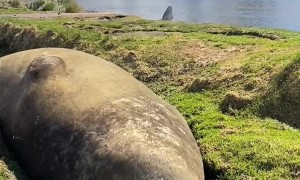 Southern Elephant Seal Snores on Sunny Day