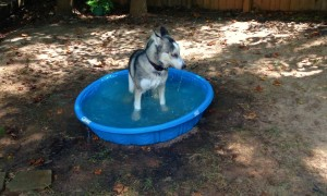 Husky Puppy Has The Time Of His Life Playing In Baby Pool