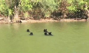 Bear Family Goes for A Swim